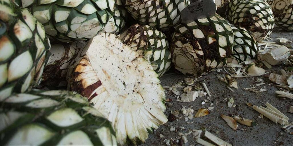 Agave tequilana piñas, glycemic index, sweeteners agave, table sugar, natural sweeteners,